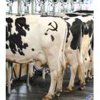 Dairy cattle at their milking stations